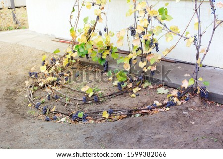 Way of laying bunches of ripe red grapes on a rods. Harvesting and preparing to home made wine. Blue yellow color autumn