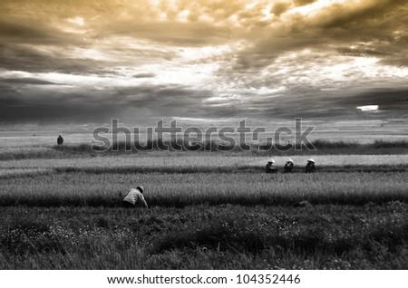 Way of life's of Vietnam farmer in Rice field,