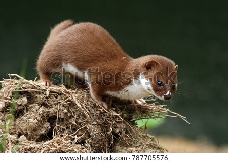 Weasel (Mustela nivalis) looking for food. Captive animal.