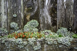 Weathered, decrepit, wood fence covered in lichen, moss, and British Soldiers Lichen, as a nature background