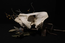 Weathered wild boar skull in dark vintage decor