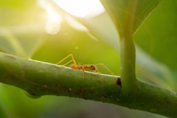 Weaver ant or orange gaster walking on tree branch. Oecophylla smaragdina.
