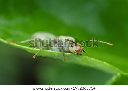 weaver ant queen on green leaf