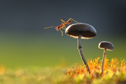 Weaver Ant want to jump from a mushroom with green background