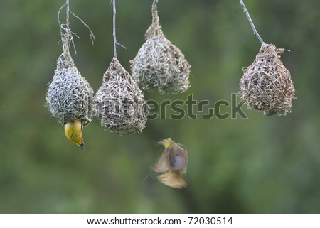 Weaver bird flying towards theit nest, while another weaver is waiting