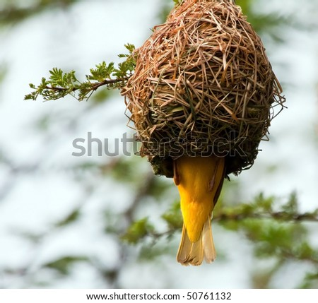 Weaver building a nest in a tree by weaving grass