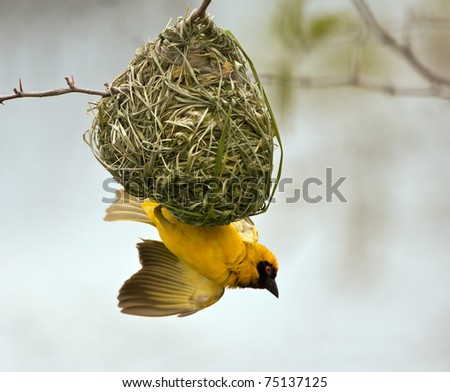 Weaver building a nest in a tree with blue sky