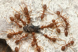 weaver red ants teamwork biting a weevil on concrete wall