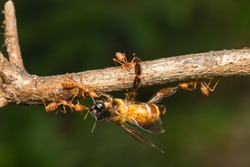 weaver red ants teamwork carrying dead bee on plant
