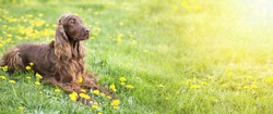 Website banner of a happy Irish Setter dog with dandelion flowers