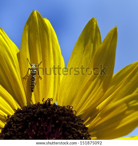Webworm on sunflower in Central Park, New York in summer - stock photo