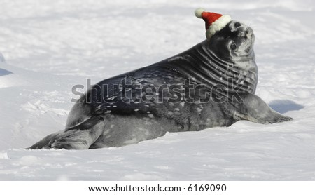 Weddell seal baby on Christmas