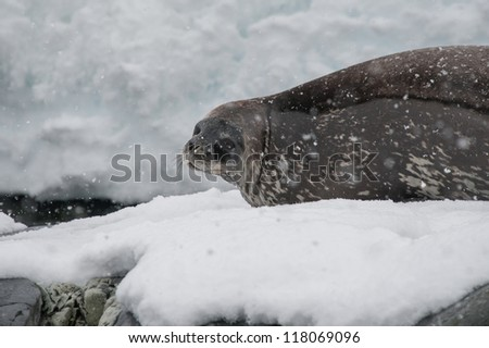 Weddell seal resting on the snow in Antarctica