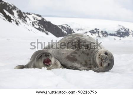 Weddell seals (Leptonychotes weddellii) - stock photo