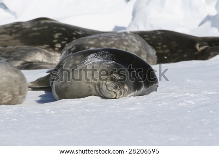 Weddell seals resting on the sea ice
