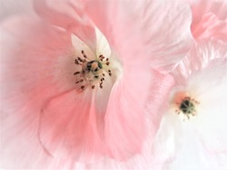 Wedding background. Bright luminous white flowers in closeup. pale pink background.
