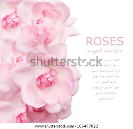 Wedding pink roses background isolated on white with sample text