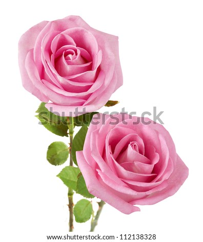 Wedding pink roses bunch isolated on white background