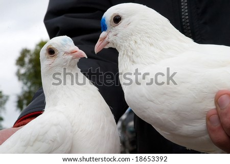 wedding white pigeons in the hands, meaning a symbol of two loving hearts and pure intentions