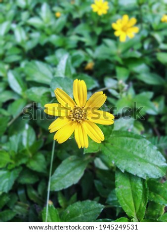Wedelia flower (Sphagneticola trilobata) is a type of wild plant that lives in tropical climates.
