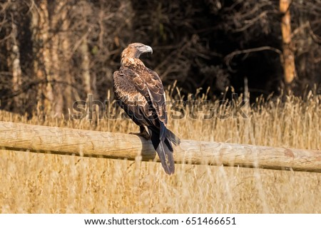 Stock Photo Wedge tailed Eagle, Bunjil eaglehawk, bird of prey perching on wooden fence looking for prey in Tasmania, Australia (Aquila audax)