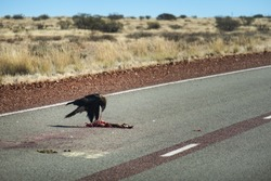 Wedge-tailed eagle eating a dead animal on the road. Eagle eating a prey on the ground. The dead animal is a kangaroo. It is the largest bird of prey in Australia. Northern Territory NT, Australia
