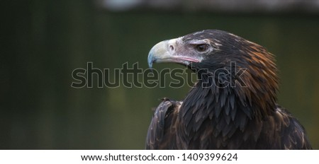 Wedge Tailed Eagle Staring Portrait #1409399624