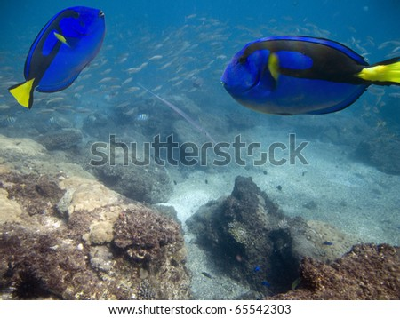 Wedgetailed Blue Tang (Paracanthurus hepatus) swimming in clear water with fish in background.