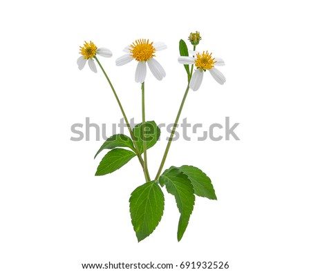 weed flower, spanish needles or beggar stick with green leaves isolated on white background