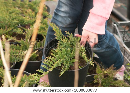 Weeding weeds in the nursery of coniferous plants, a woman in garden gloves working in the garden #1008083899
