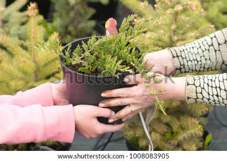 Weeding weeds in the nursery of coniferous plants, a woman in garden gloves working in the garden #1008083905
