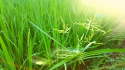 Weeds among rice, a nuisance plant that often appears when entering the harvest season
