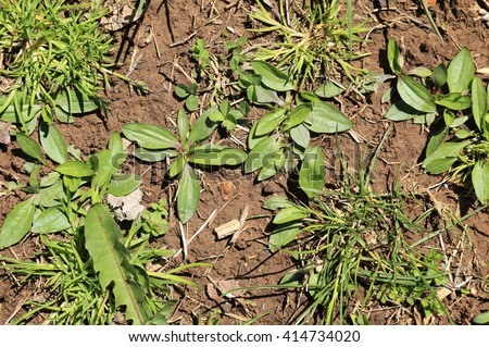 Weeds. New plants emerging in springtime covering the bare ground.