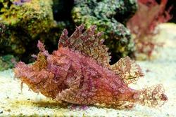 Weedy Scorpionfish (Rhinopias frondosa), animal life in the underwater