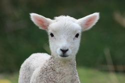 Week old Lamb, New Zealand Countryside