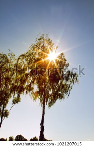 Weeping birch (Betula alba pendula) against the sun. Lonely birches in field in springtime, Green foliage sound spring. Forest of small-leaved deciduous species