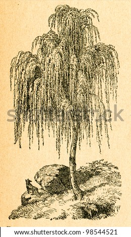 Weeping birch - old illustration by unknown artist from Botanika Szkolna na Klasy Nizsze, author Jozef Rostafinski, published by W.L. Anczyc, Krakow and Warsaw, 1911