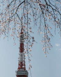 Weeping cherry blossoms with Tokyo Tower