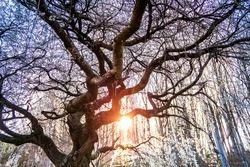 Weeping cherry canopy glows at sunset