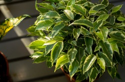 Weeping fig's bright leaves(Ficus benjamina)