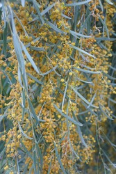 Weeping myall tree with pale yellow flowers, native to Australia