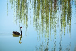weeping willow and black swan on the lake in spring