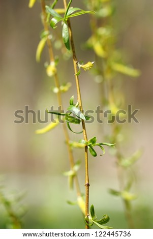 Weeping willow branch in flower