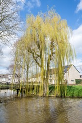 Weeping Willow in early spring, small leaves are about to sprout. Tree is also known as Salix pendula or Salix babylonica.