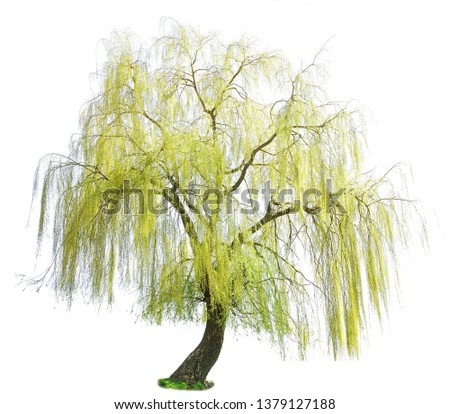 weeping willow in spring isolated on a white background. weeping willow isolate on a white background. White Willow (Salix Alba) isolated on white background Stock photo ©