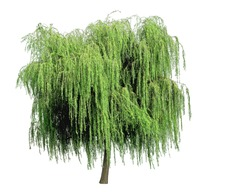 Weeping willow isolated on a white background