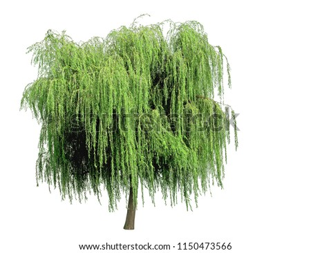 Weeping willow isolated on a white background Stock photo ©