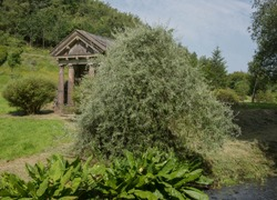 Weeping Willow Leaved Pear Tree (Pyrus salicifolia 'Pendula') by a Stream in a Country Cottage Garden in Rural Devon, England, UK