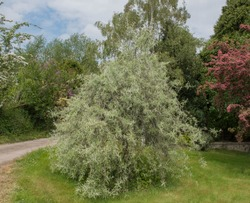 Weeping Willow Leaved Pear Tree (Pyrus salicifolia 'Pendula') in a Country Cottage Garden in Rural Devon, England, UK