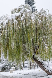 Weeping Willow On A Snowy Day.